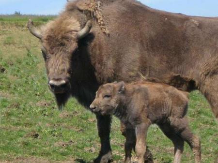 Guiarural. Nace el primer bisonte en España 1.000 años después. img_20100819211731.jpg