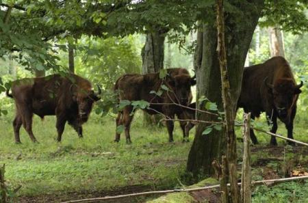 Guiarural. Nace el primer bisonte en España 1.000 años después. img_20100819211748.jpg