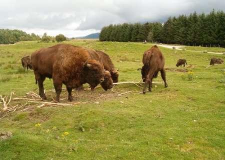 Guiarural. Nace el primer bisonte en España 1.000 años después. img_20100819211855.jpg