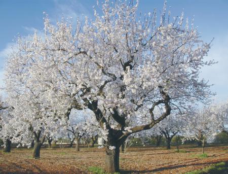 . Los almendros florecen en el valle del Vinalopó. img_20110212185341.jpg