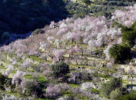. Los almendros florecen en el valle del Vinalopó. img_20110212185454.jpg