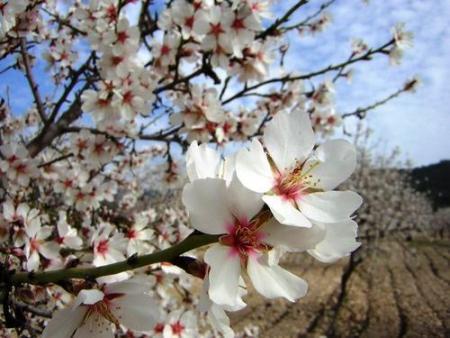. Los almendros florecen en el valle del Vinalopó. img_20110212185620.jpg