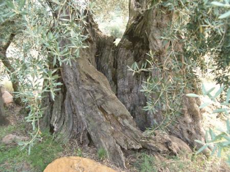 . La ruta de los olivos milenarios del Maestrazgo. img_20110918171943.jpg