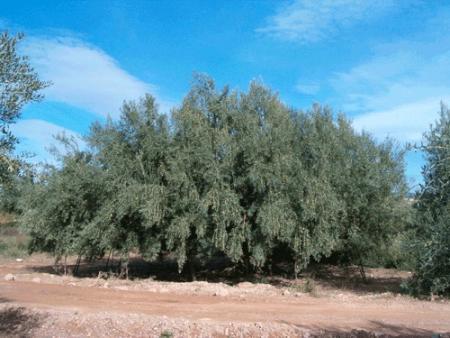 . La ruta de los olivos milenarios del Maestrazgo. img_20110918172033.jpg