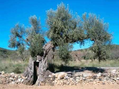 . La ruta de los olivos milenarios del Maestrazgo. img_20110918172108.jpg