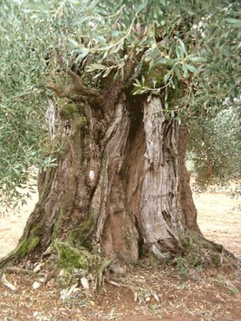 . La ruta de los olivos milenarios del Maestrazgo. img_20110918172359.jpg
