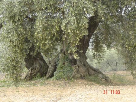 . La ruta de los olivos milenarios del Maestrazgo. img_20110918172440.jpg