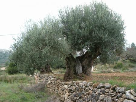 . La ruta de los olivos milenarios del Maestrazgo. img_20110918172627.jpg