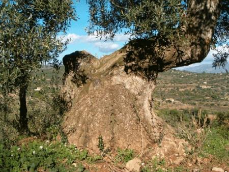 . La ruta de los olivos milenarios del Maestrazgo. img_20110918172657.jpg