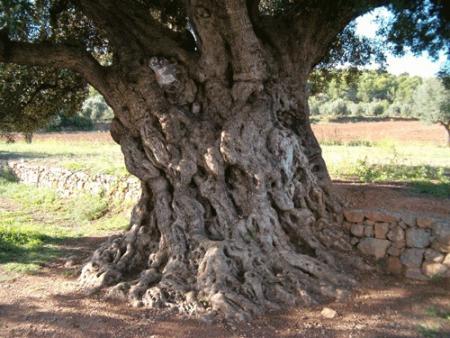 . La ruta de los olivos milenarios del Maestrazgo. img_20110918172900.jpg