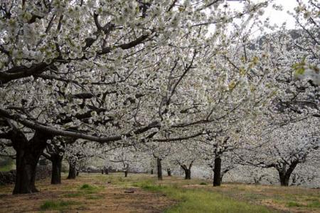 . La floración de los cerezos en el valle del Jerte. img_20120331182415.jpg