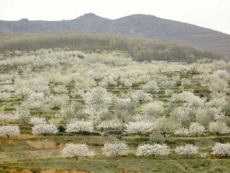 . La floración de los cerezos en el valle del Jerte. img_20120331182527.jpg
