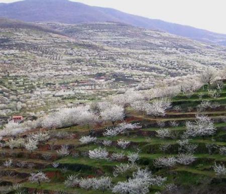 . La floración de los cerezos en el valle del Jerte. img_20120331182615.jpg